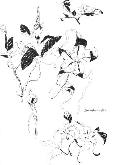 Strophanthus caudatus